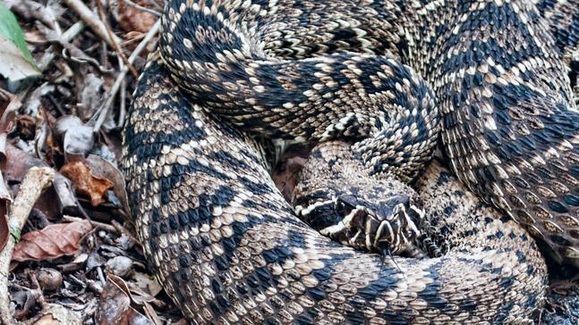 South Carolina Venomous Snake Guide Photo Gallery Wciv